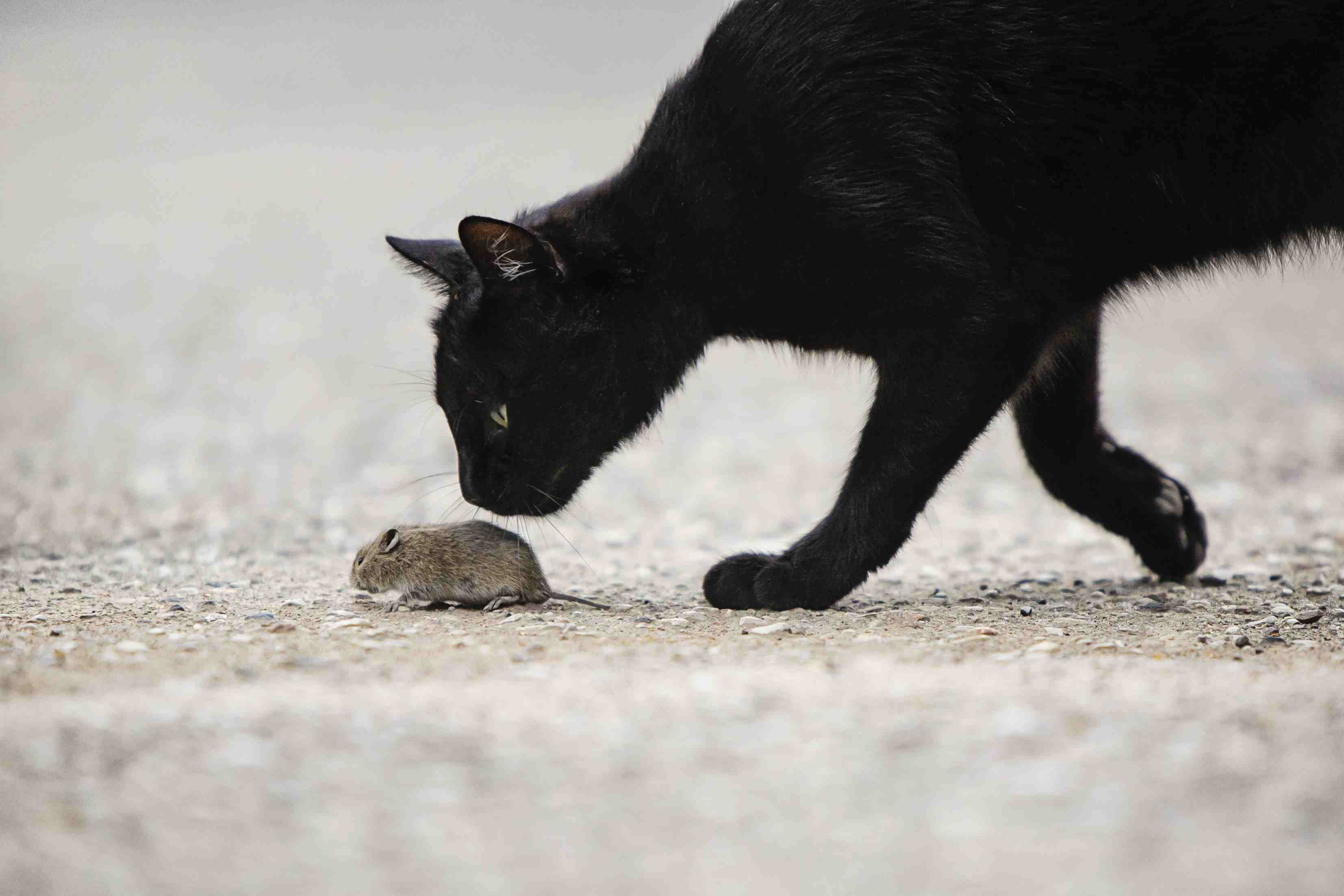 Black cat sniffing at a mouse.