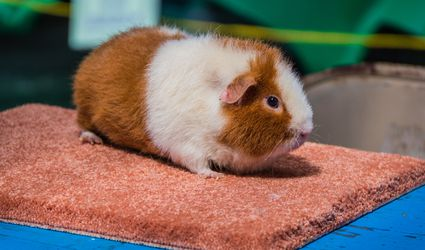 Teddy guinea pig sitting on a carpet square.