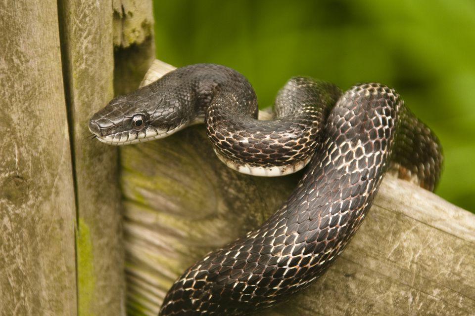 Serpiente de rata negra