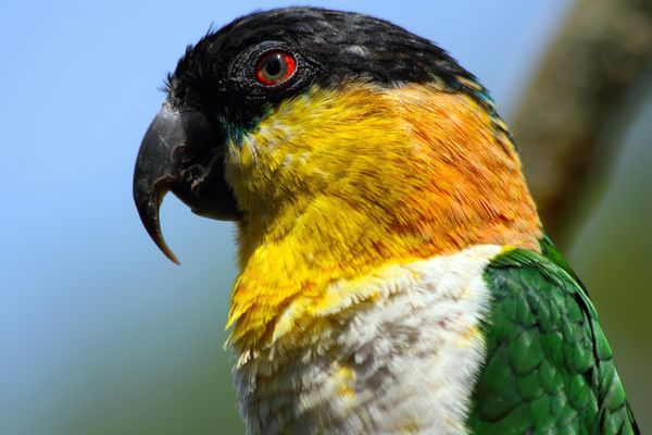 Close up of a caique with black, yellow, orange, and white colori