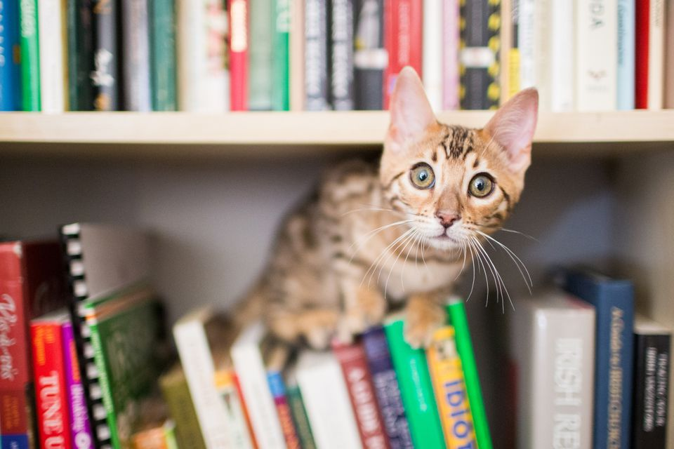 A cat perched on a bookshelf