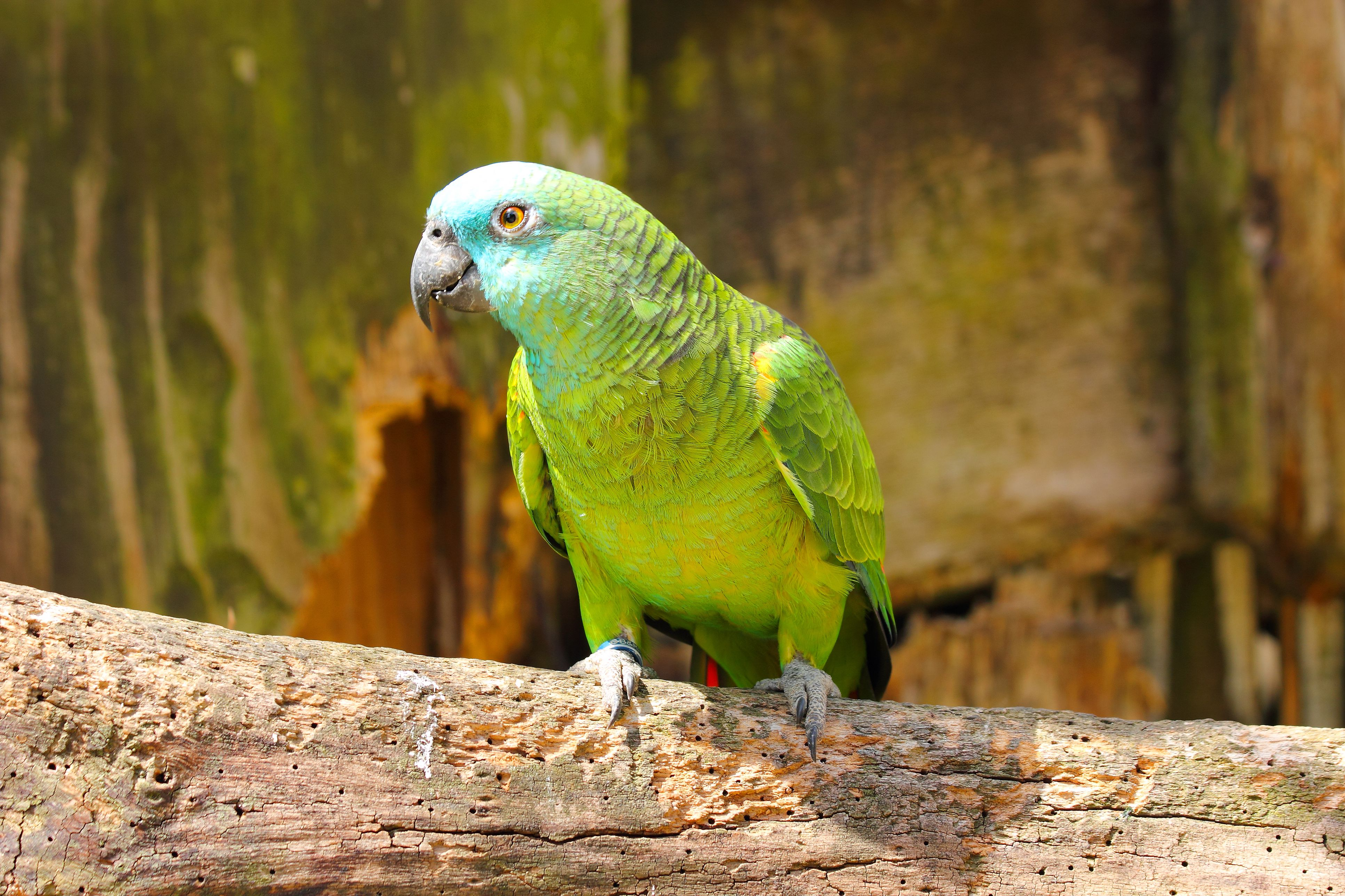 Blue-fronted Amazon on perch. Amazona aestiva
