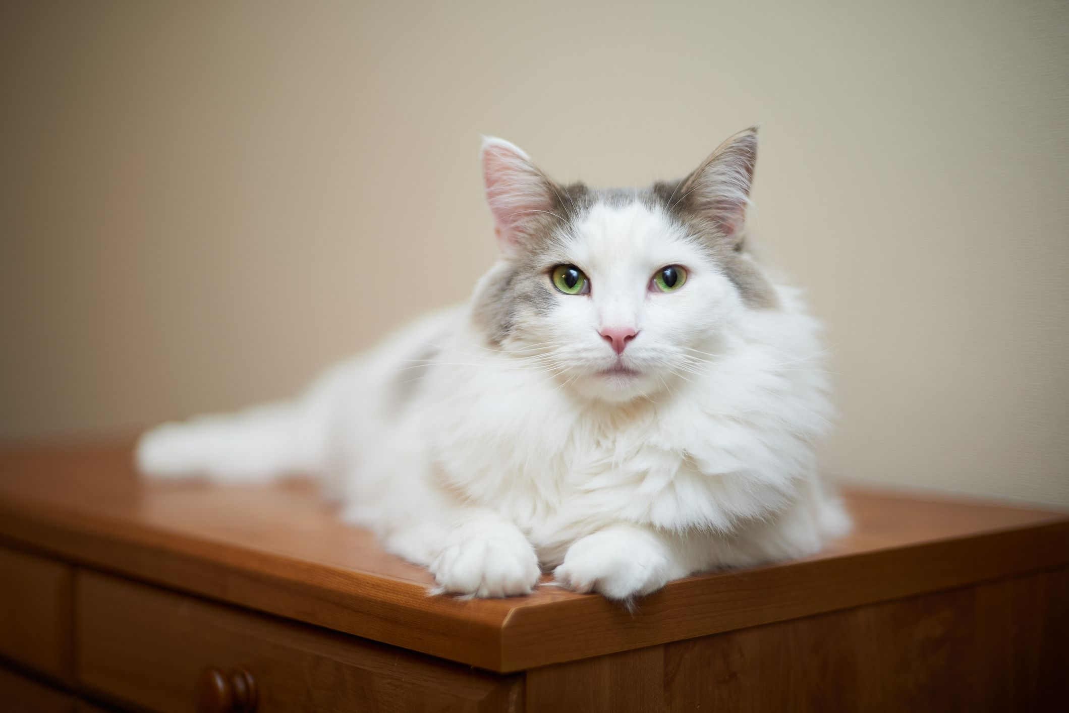 A white cat with long hair and green eyes sitting on a wood dresser and looking at the camera.