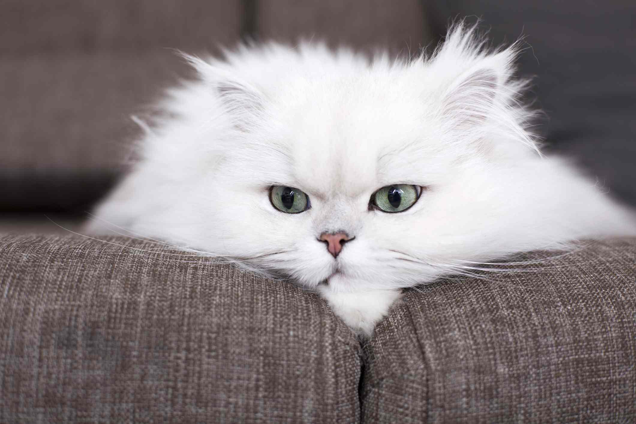 Cerca del gato persa blanco en el sofá
