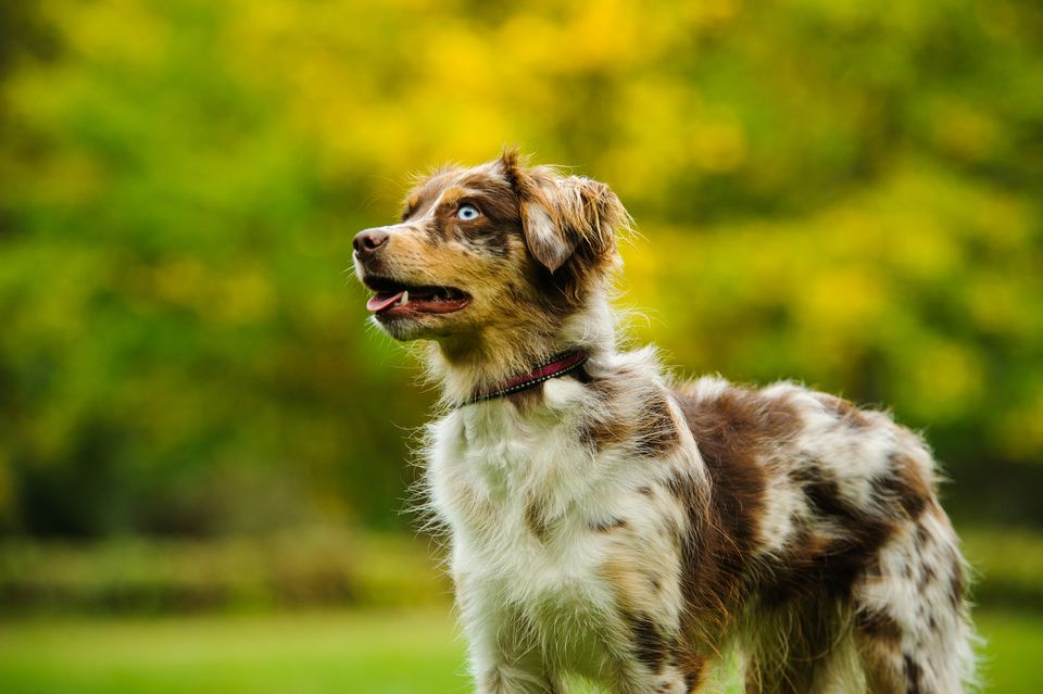 australian shepherd  full profile  history  and care