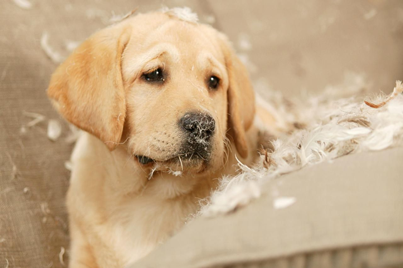 How to Prevent Destructive Puppy Behavior and Chewing