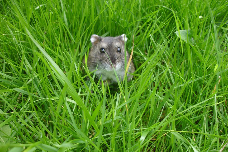 Russian dwarf hamster in the garden