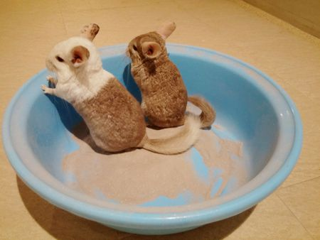 chinchilla dust baths bathing chinchillas