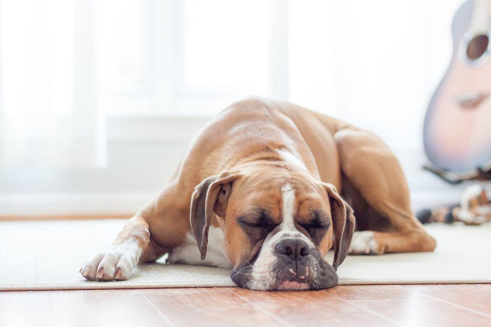 A fawn boxer dog sleeping on the floor.