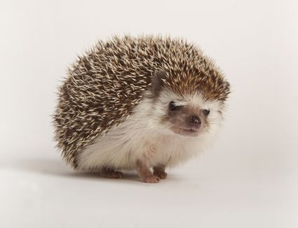 How To Handle A Hedgehog Tips And Handling Basics