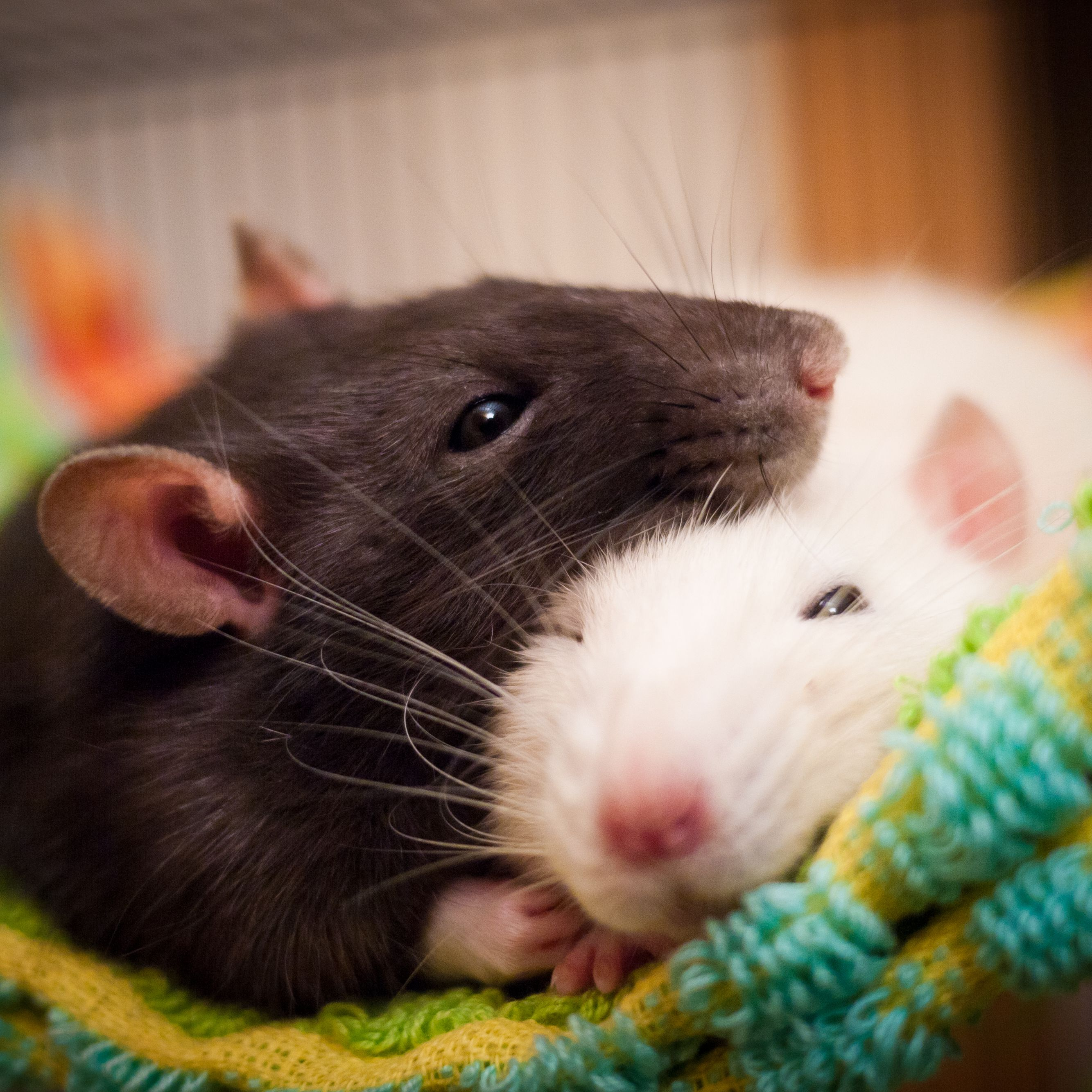Keeping And Caring For Pet Rats