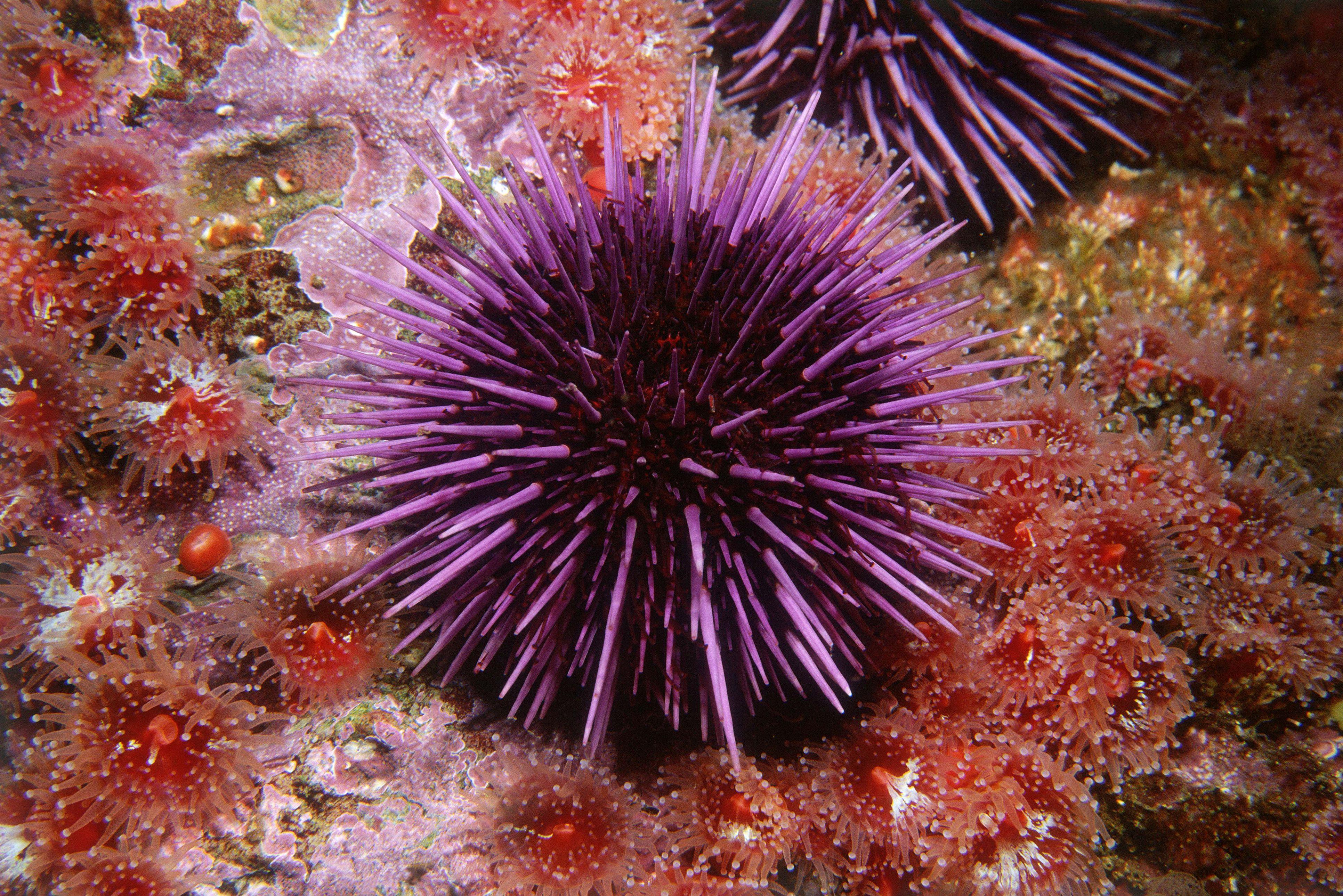 Sea urchin and sea anemones
