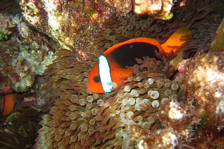 Clownfish and Host Anemone Matches