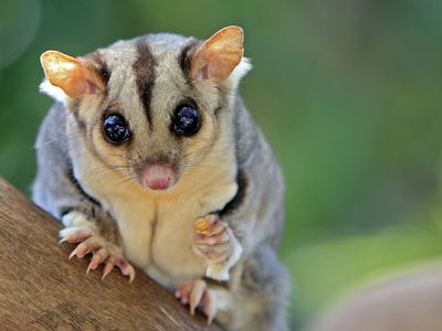 Names for Pet Sugar Gliders