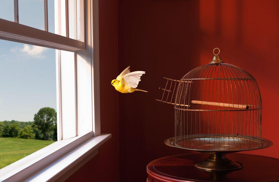 Canario escapando de la jaula, volando hacia la ventana abierta