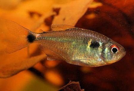 Head And Tail Light Tetra Fish Breed Profile