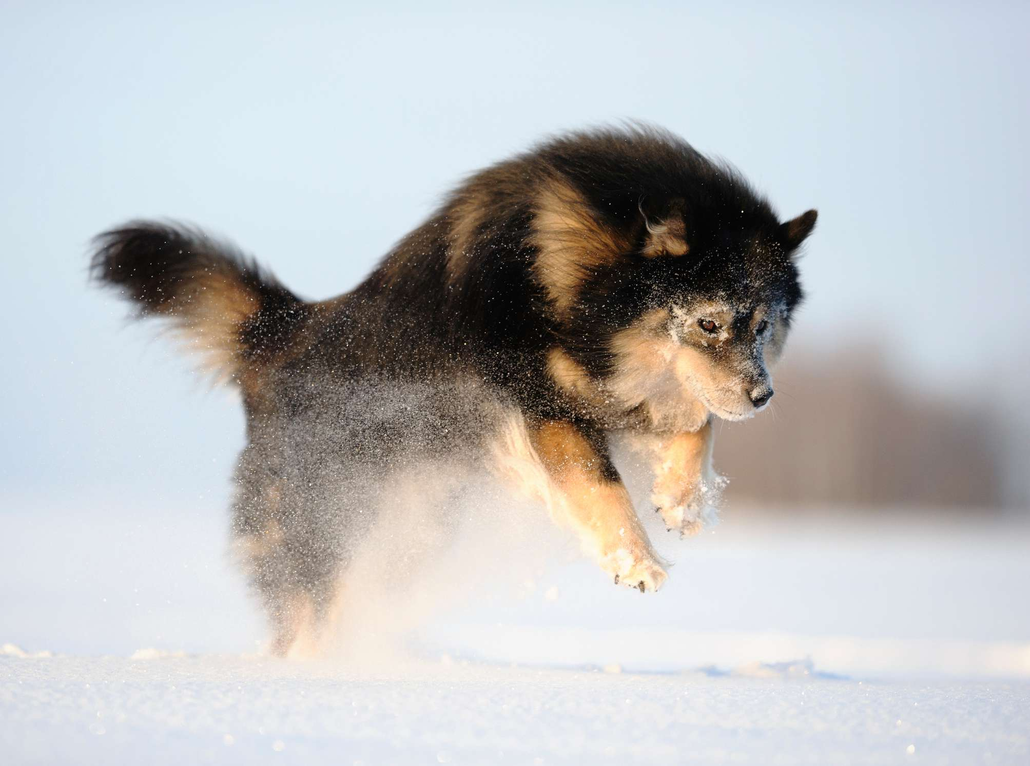 Finnish Lapphund jumping in the snow