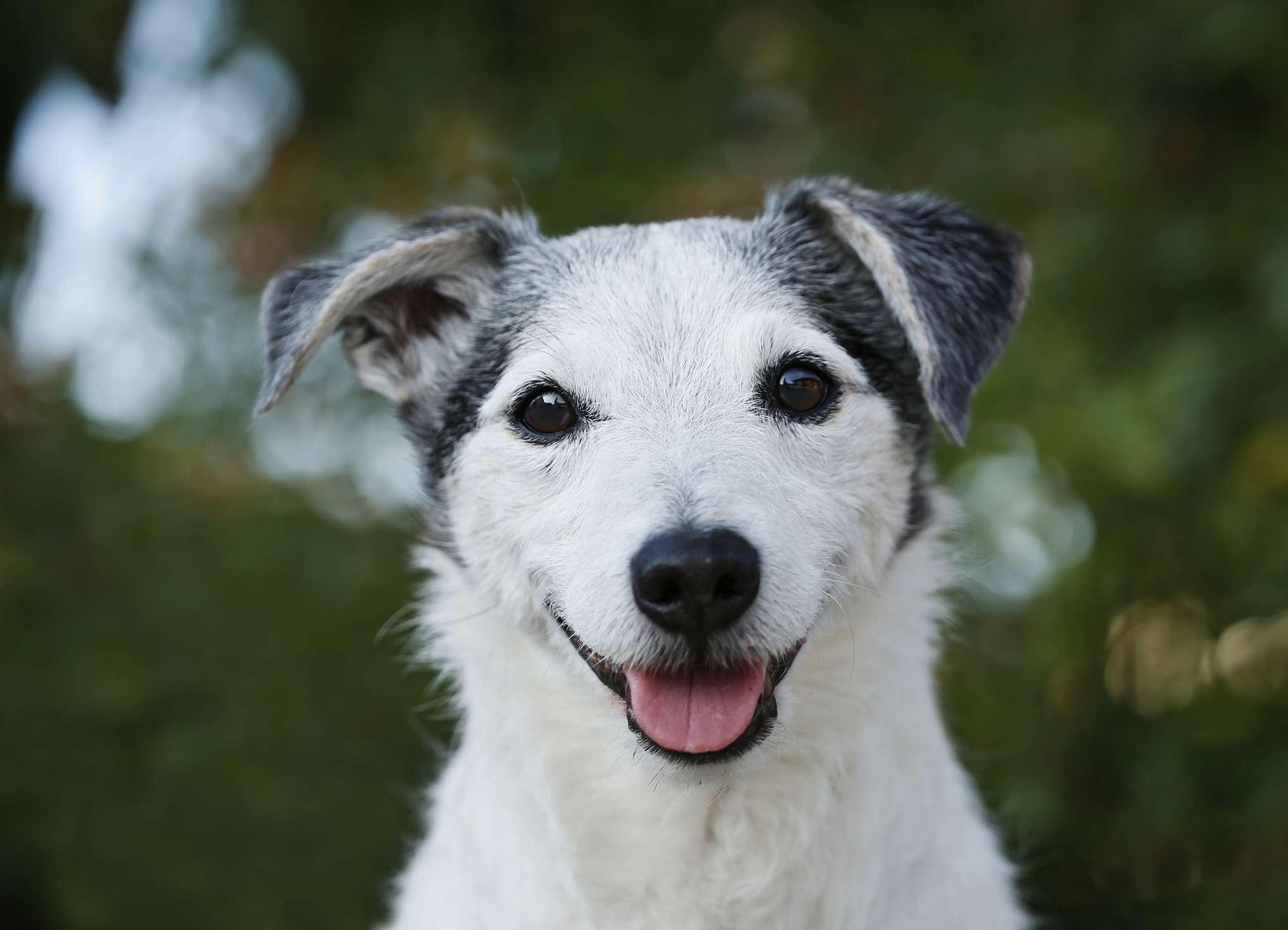 Senior Jack Russell terrier sonriendo
