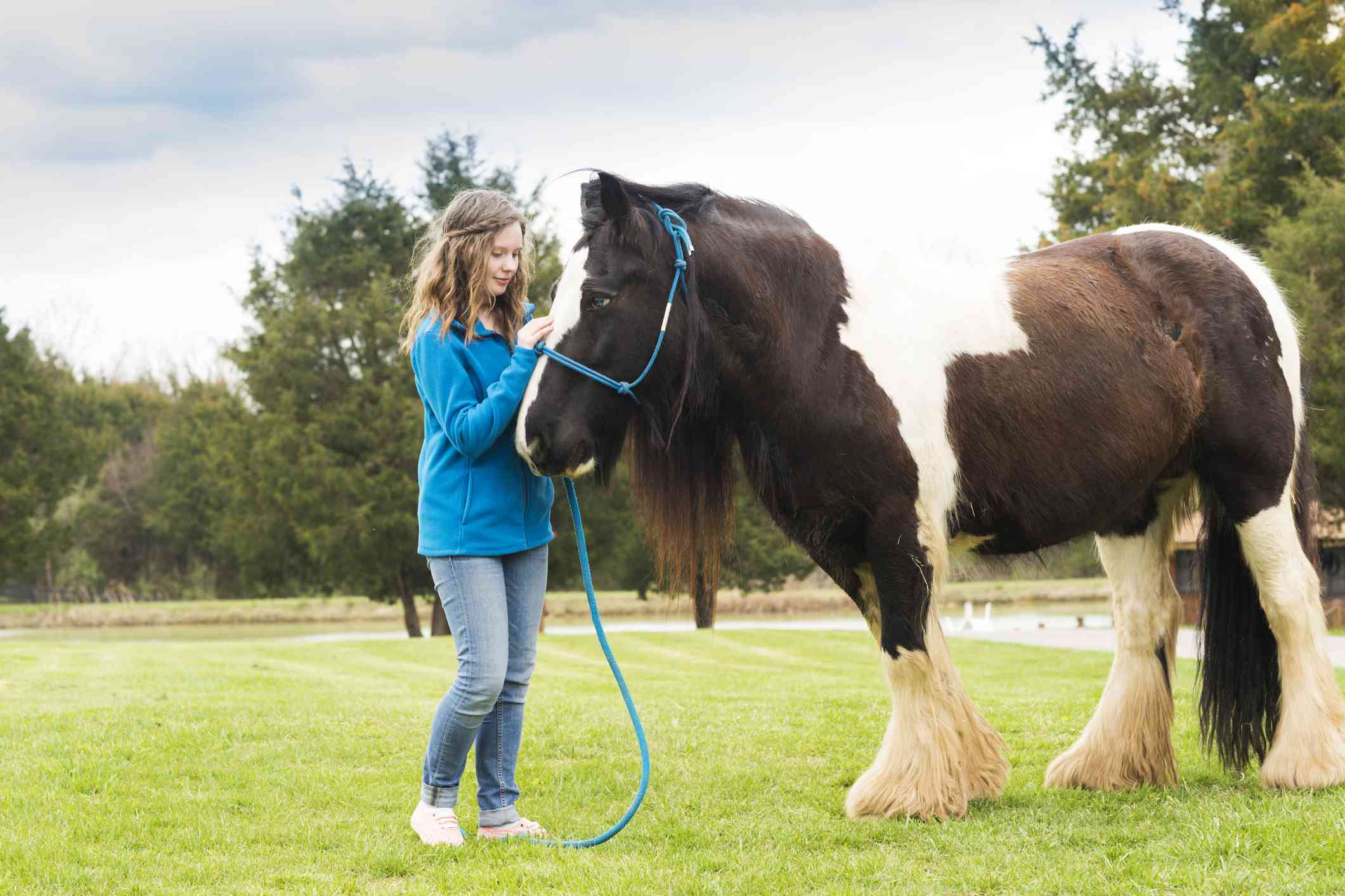 Gypsy Vanner and young girl doing groundwork.