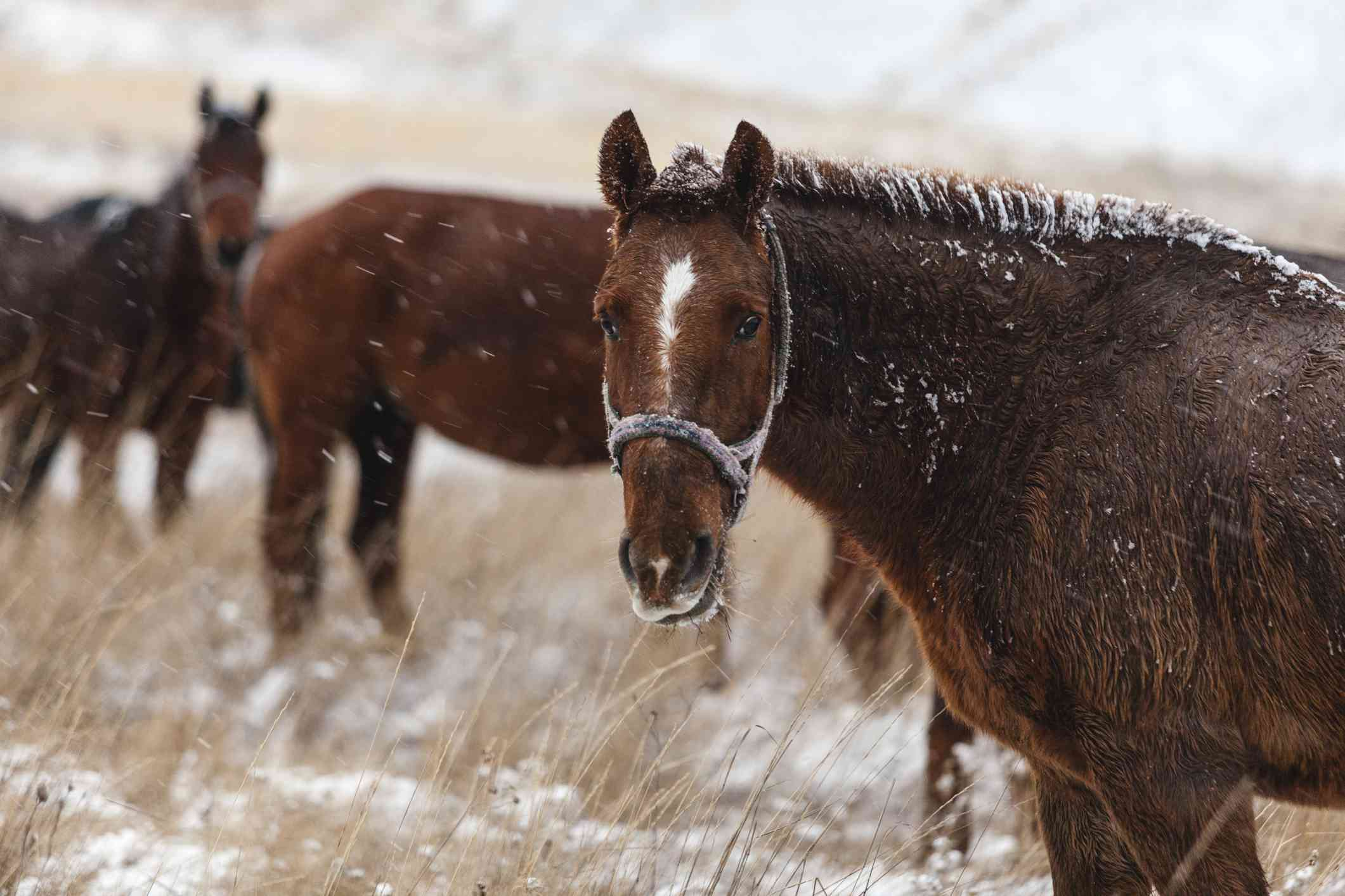 A brown Appendix Quarter Horse standing in snowy field.