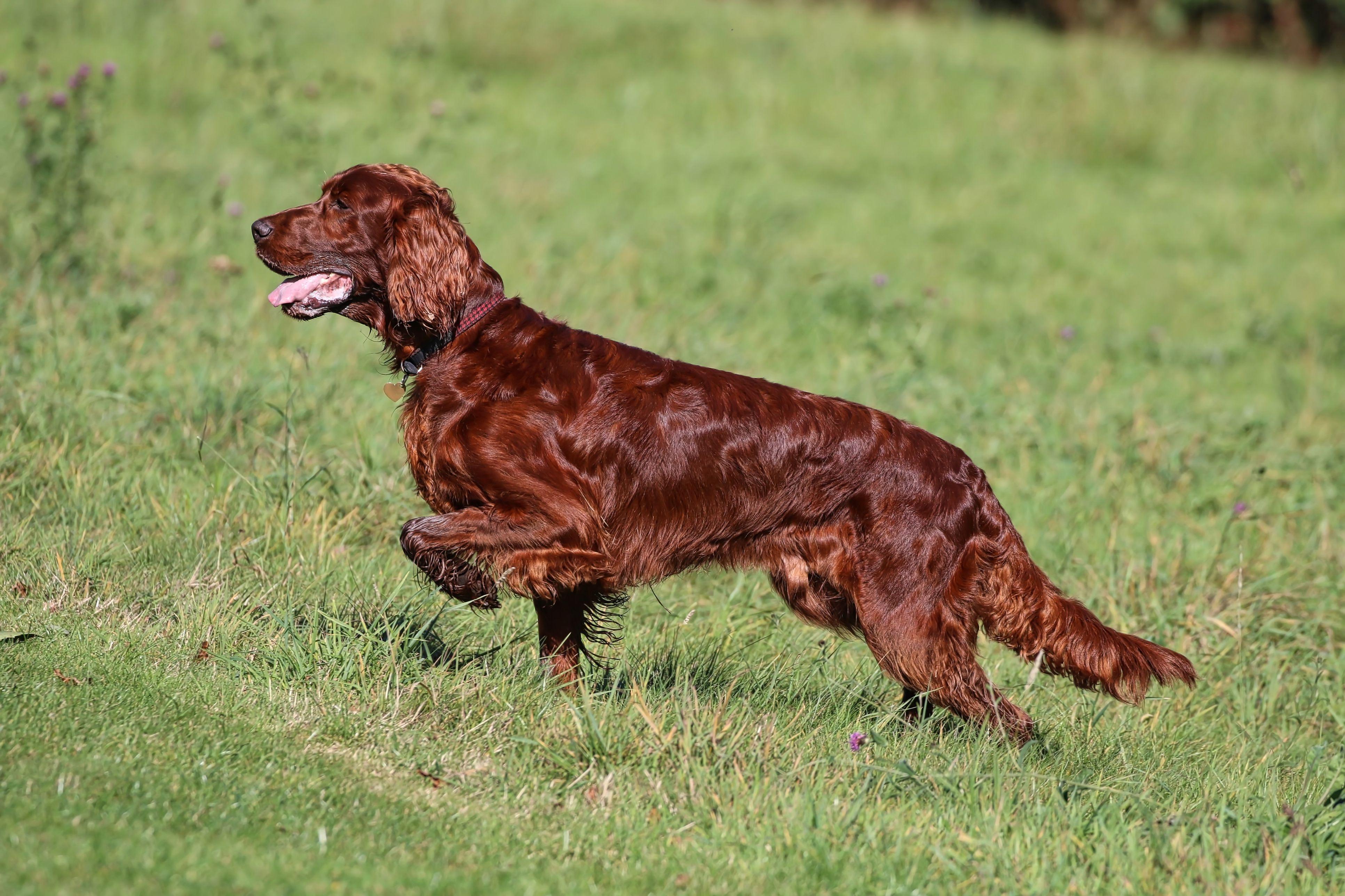 Irish setter running on grass