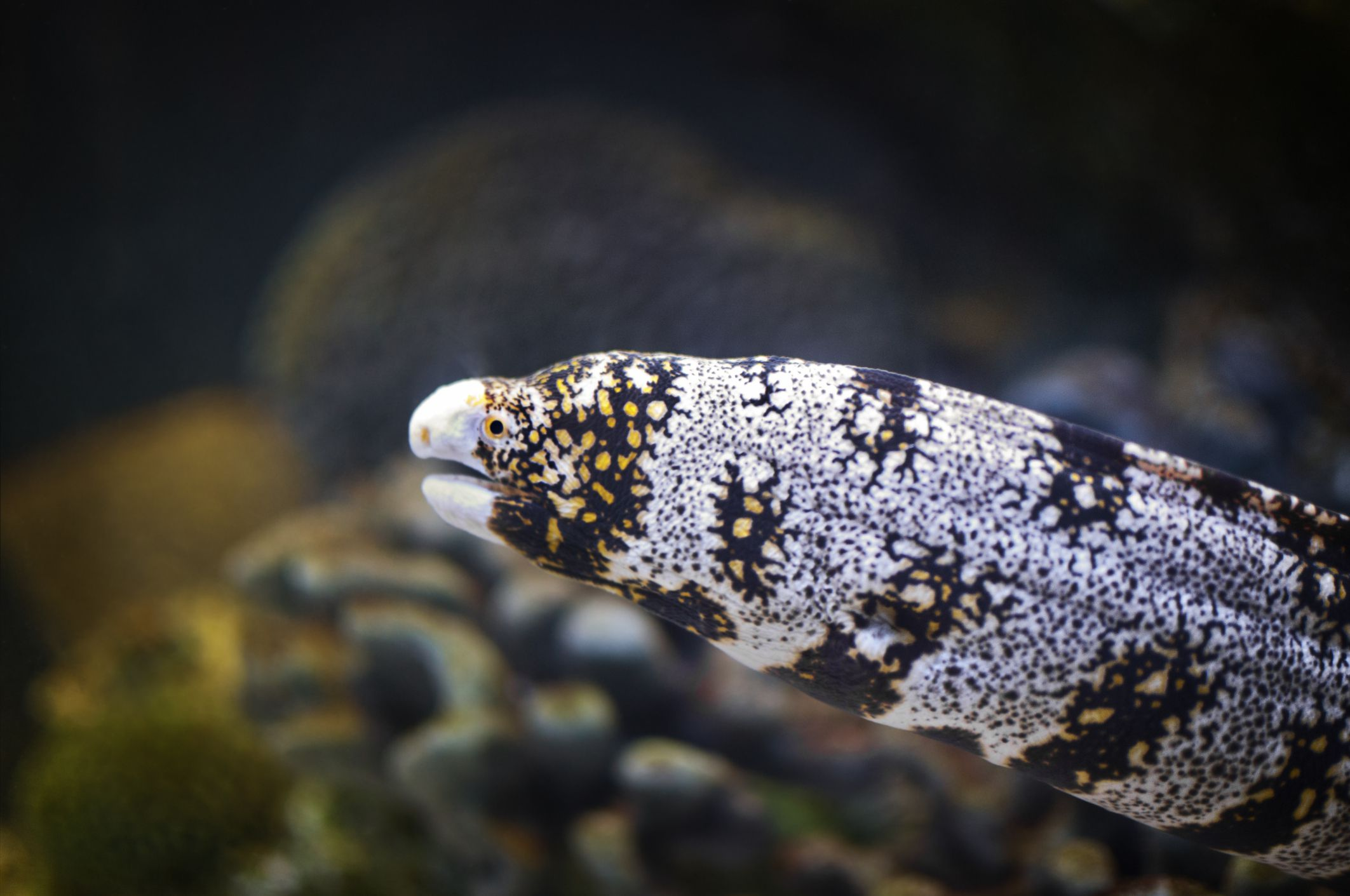Can Pet Moray Eels Live in Freshwater?