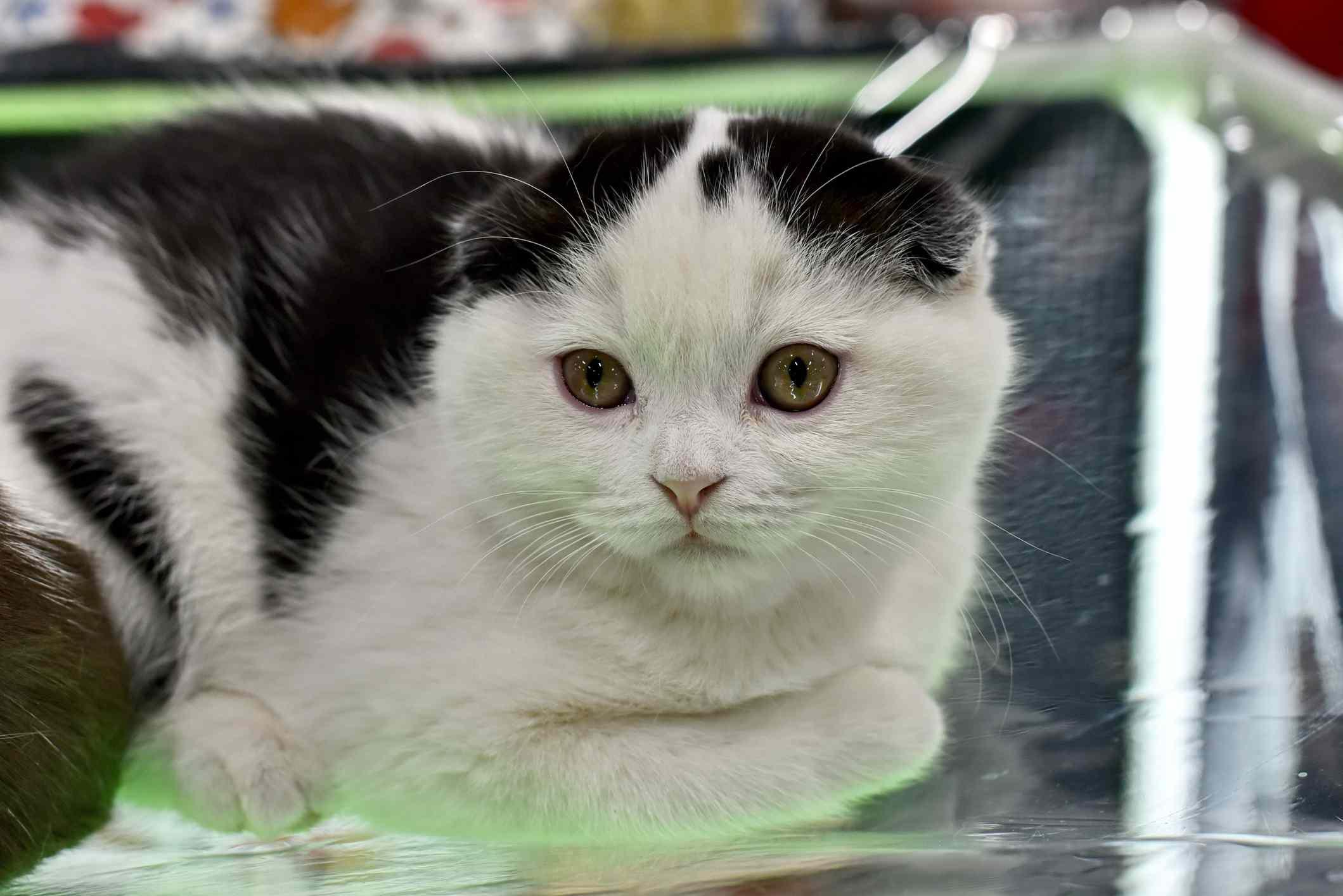 Black and white Scottish Fold cat lying down