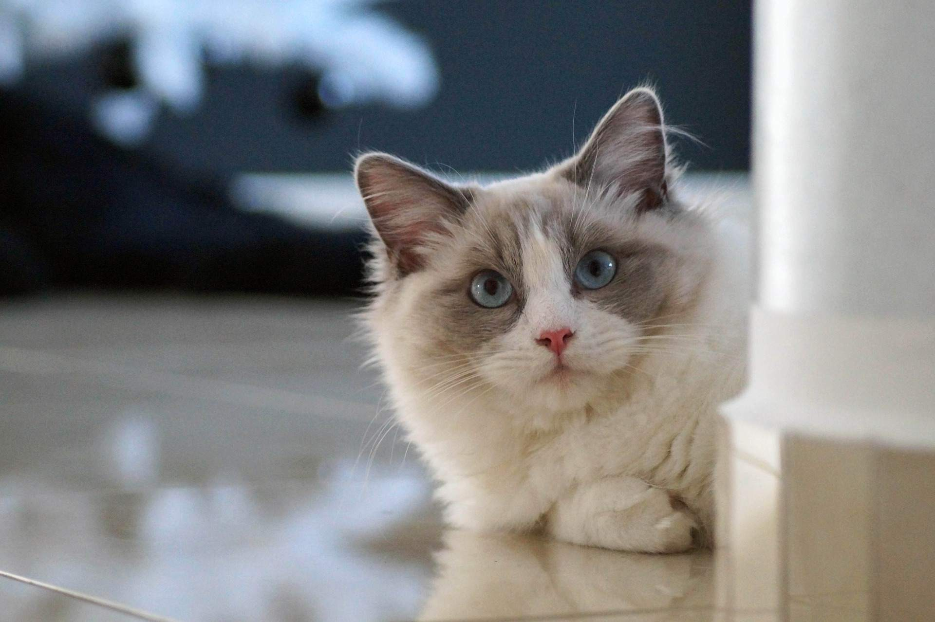 11 Cute Pictures Of Ragdoll Cats