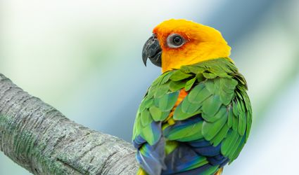 A Jenday Conure (Aratinga jandaya) perched in a tree, also known as jandaya parakeet is a small Neotropical bird found in northeastern Brazil.