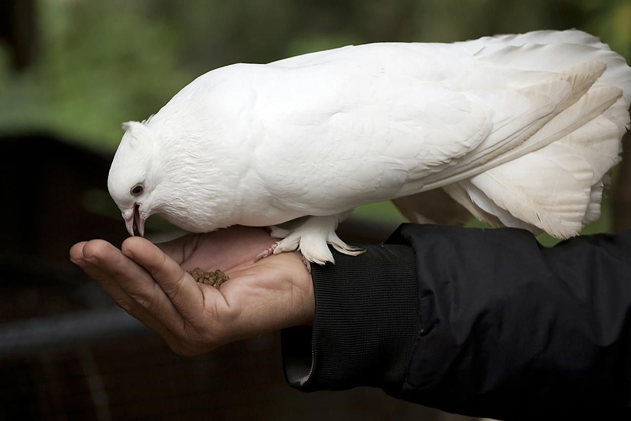 The White Dove, Sacred White Dove, or Java Dove is the most historically described dove from Noah through today.