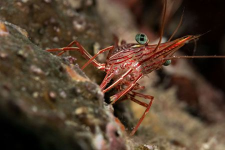 Shrimps True Crabs Sea Urchins Are Nature S Little Helpers