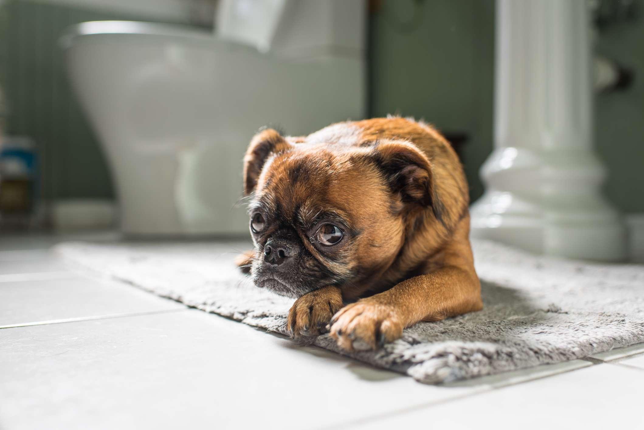 A brown and black pug-like little dog laying on the bathroom rug.