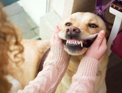Golden retriever showing teeth