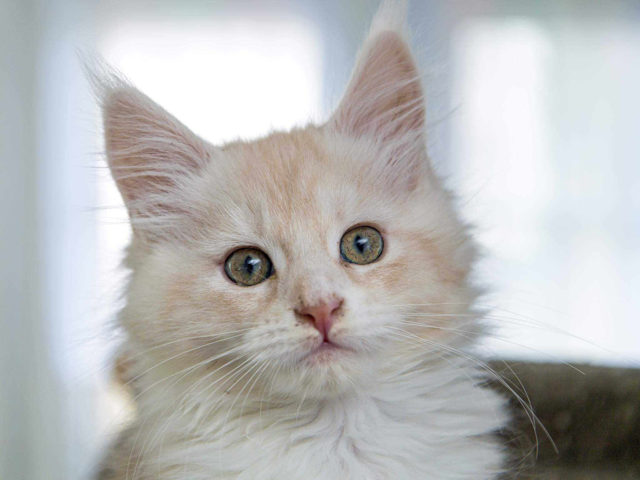 maine coon cat white color