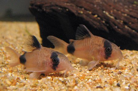 Common Fish Names Beginning With P