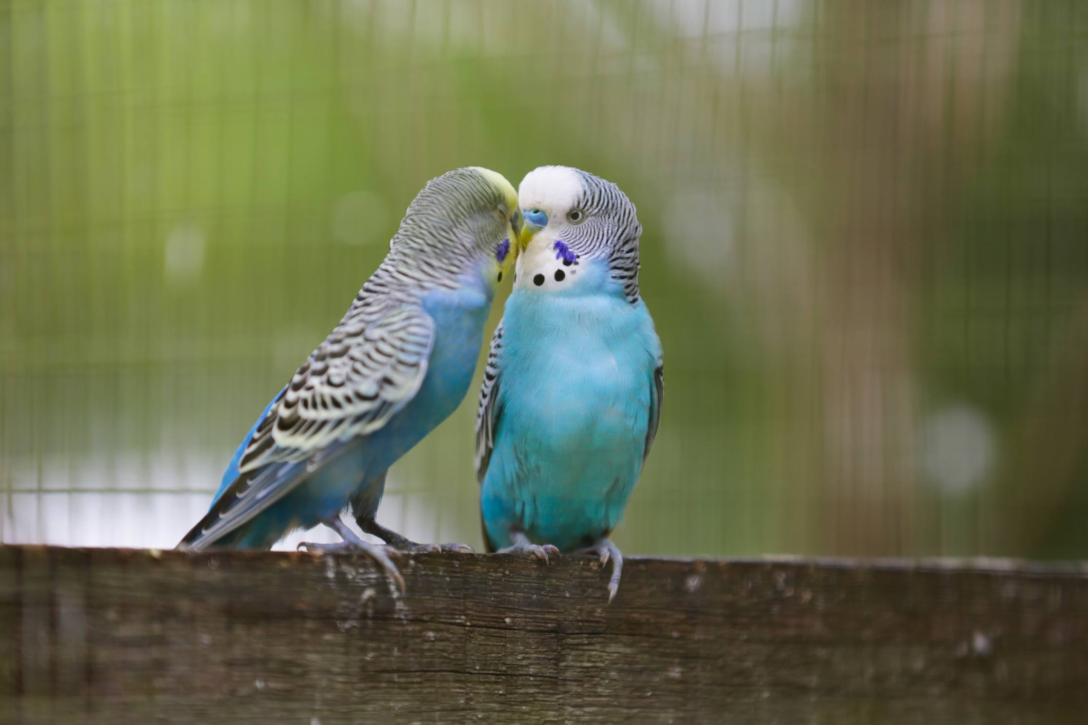 Two blue budgies on a piece of wood