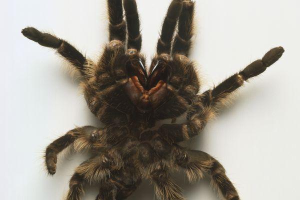 Tarantula exoskeleton
