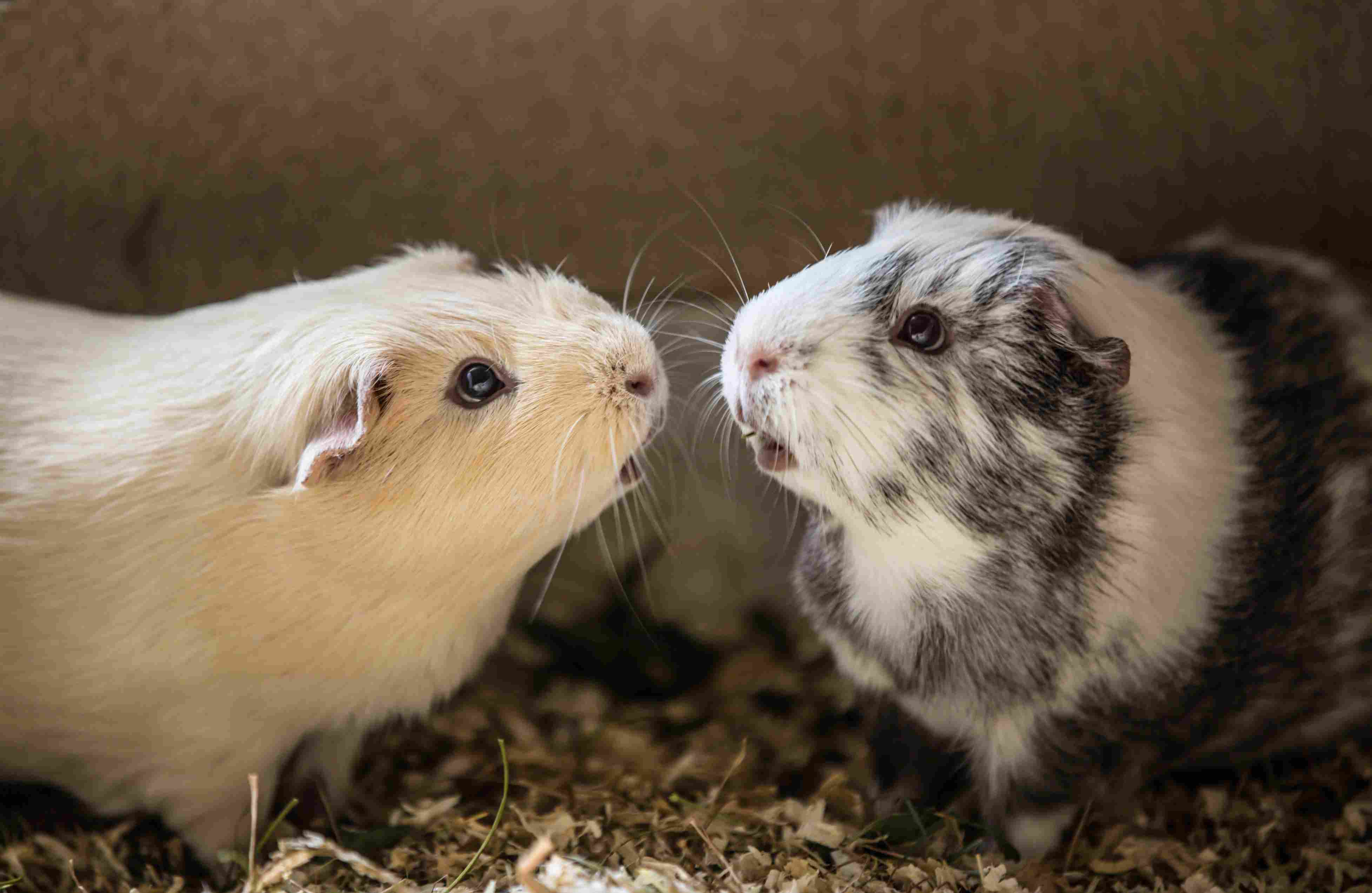Close-Up Of Guinea Pigs At Home