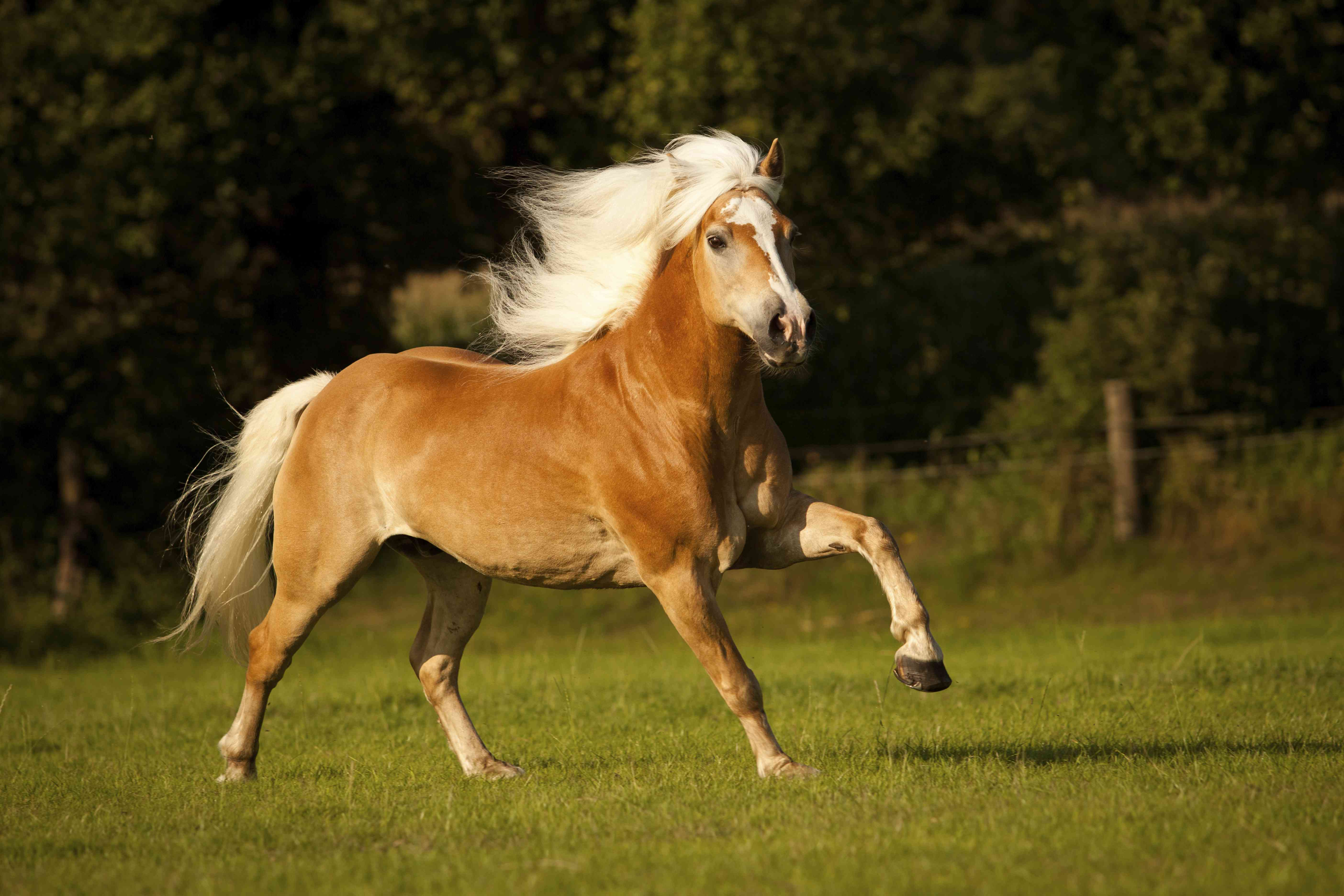 Haflinger, gelding with a long mane, galloping on a meadow