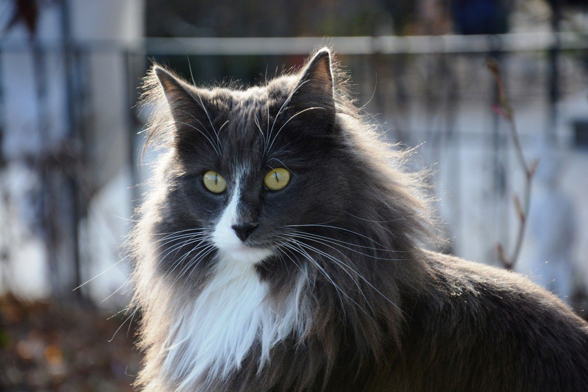 A grey, black, and white Norwegian Forest cat.