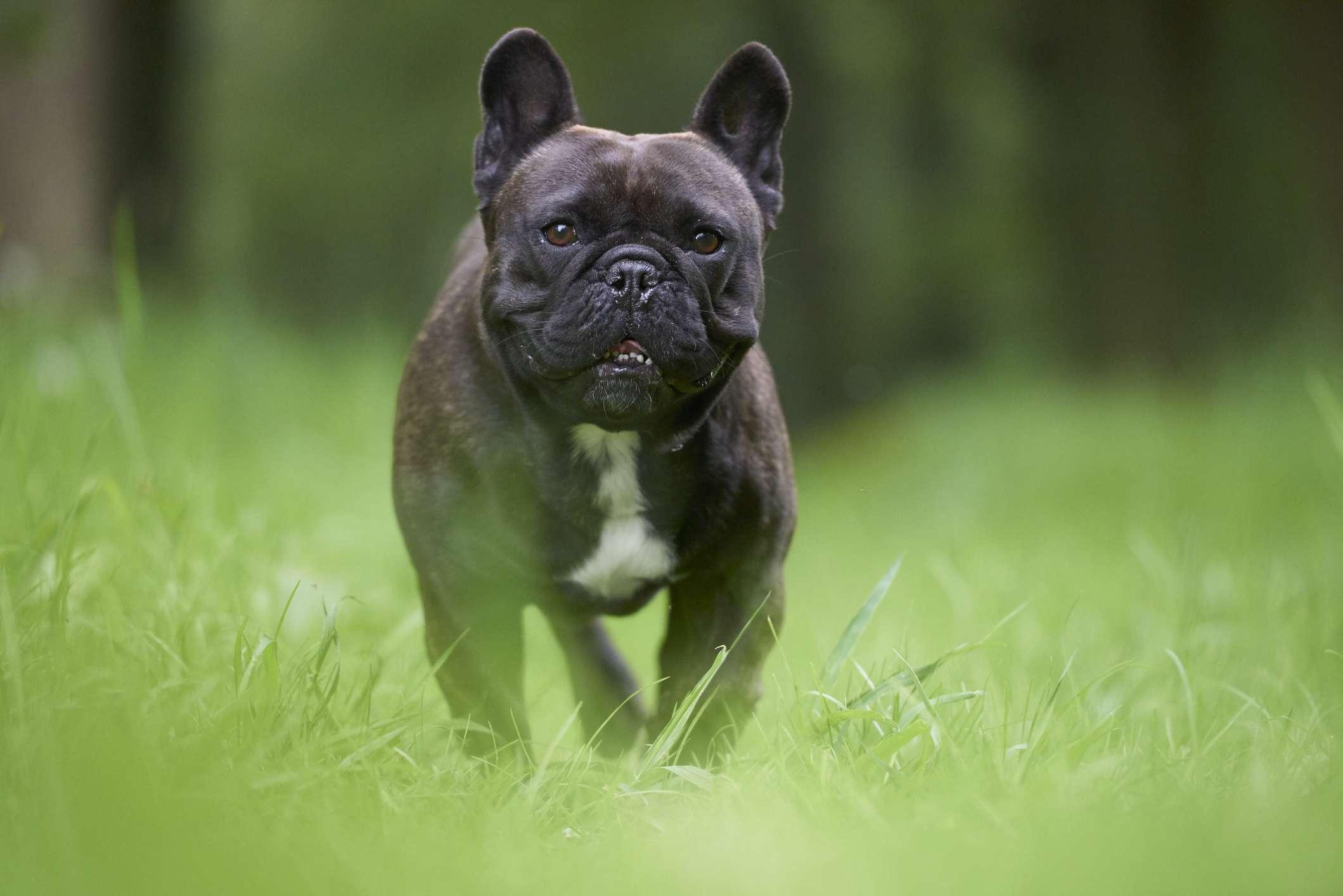 Bulldog francés caminando por la hierba