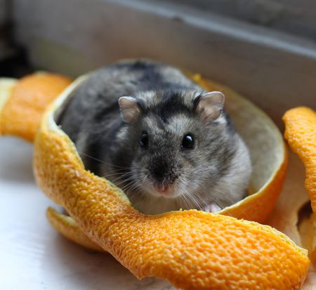 Keeping and Caring for Pet Dwarf Hamsters as Pets