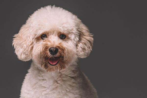 A cream-colored toy poodle looking at the camera.