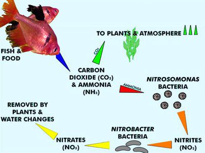 How does an aquarium cycle nitrogen cycle in aquariums understanding the basics and what to know ccuart