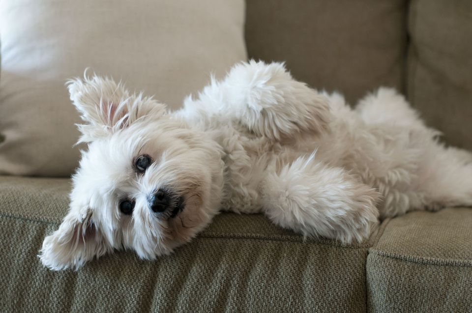 Fluffy white dog laying on lounge