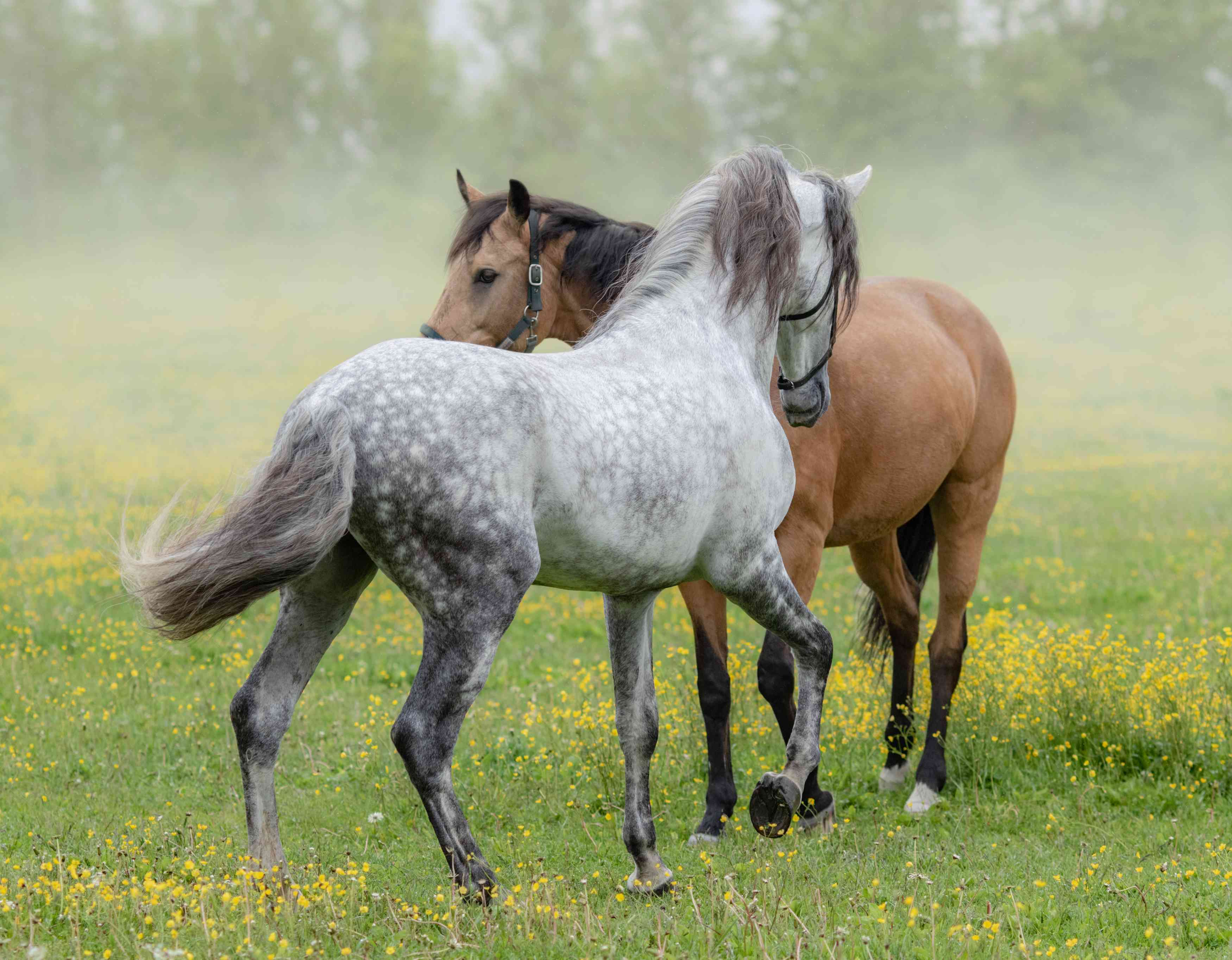 Grey and bay Andalusians in a field of flowers