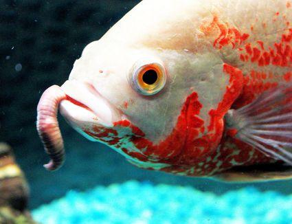 Oscar fish eating worm