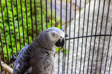 African Grey Parrot in a birdcage