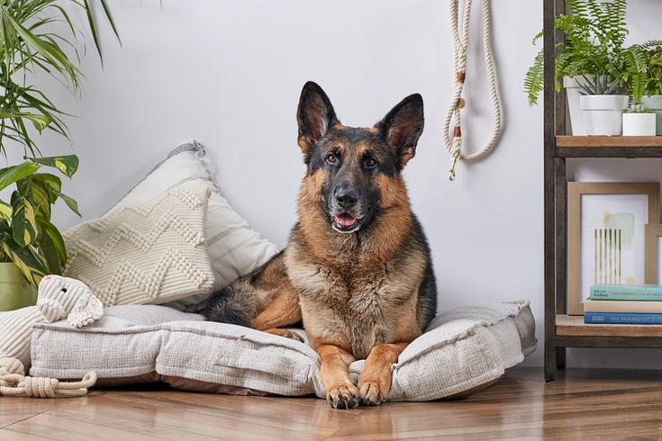 German Shepherd Dog Full Profile History And Care