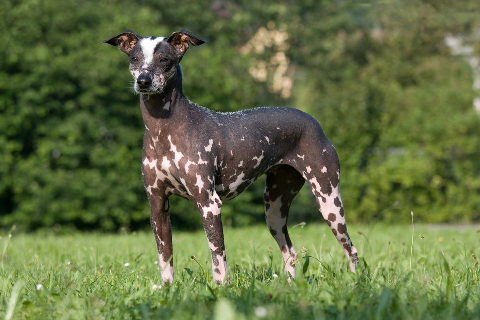Hairless Peruvian Inca Orchid dog standing in grass.